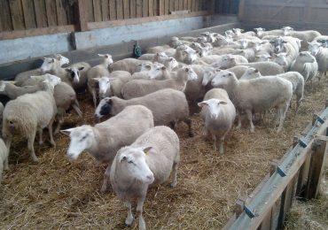 Visite d'un élevage de romanes