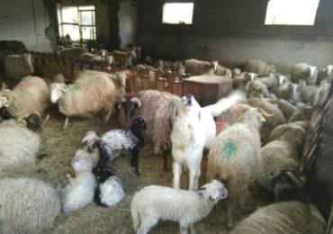 La Bio en brebis laitières : visite à Beyrie